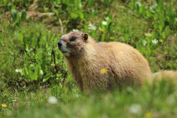 Colorado alpine marmot
