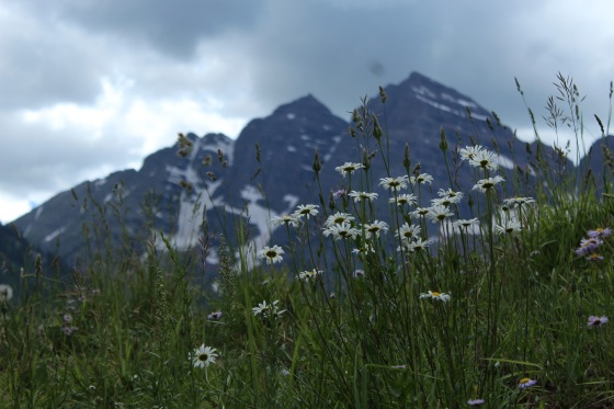 Back drop of the Maroon Bells behind wild daisies.